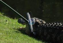 Kip Henley, caddie de Brian Gay, se las vio y deseó con un cocodrilo en el RBC Heritage