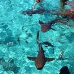 Luke Donald comenzó el año bañándose junto a estos tiburones. @LukeDonald