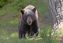 Un oso enciende las alarmas en un campo de golf