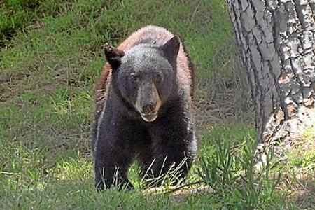 Instantánea del oso en el campo. Foto: Gene Blevins