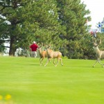 Deer on the 9th hole