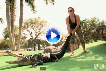 A los aligators también les gusta el Mini-Golf. Los Gators Boys tuvieron que ir al rescate (VÍDEO)