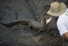 Río 2016, tenemos un problema: ¡caimanes!
