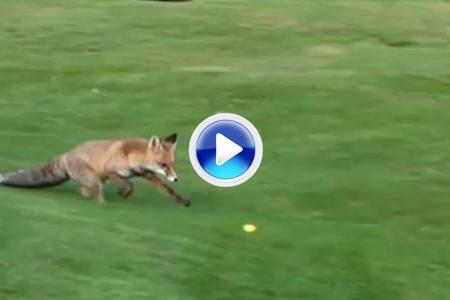 Un zorro 'robabolas' hace de las suyas en un campo de golf (VÍDEO)