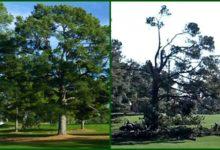 El árbol de Eisenhower pasó a mejor vida