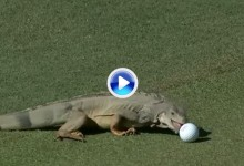 A las iguanas también les gusta el Golf. Fue la anécdota del día en Puerto Rico (VÍDEO)