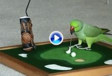 Increible: Este loro que juega al golf ya ha recibido más de un millón de visitas en youtube (VÍDEO)