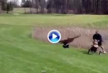 Golfista sufre el ataque furibundo de un ganso en un campo de golf (VÍDEO)