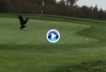 ¿A esto también se le puede llamar eagle? Águila roba la bola de un jugador en pleno green (VÍDEO)