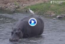 El hipopótamo Henry, la otra estrella del salvaje Alfred Dunhill Championship (VÍDEO)