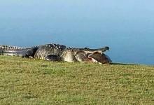 Reapareció Goliat -el gigantesco cocodrilo- desayunando una gran tortuga en el campo de golf