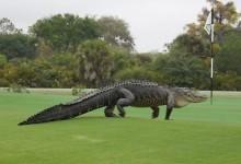 Un imponente cocodrilo de 4 m. de largo y dientes como sierras invade un campo de golf en Florida