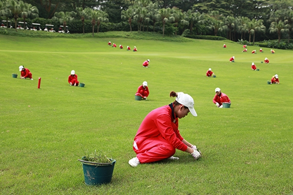 Caddies eliminan a mano las malas hierbas. Foto: Mission Hills in Shenzhen, China. Foto: MIssion Hills