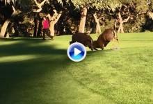 Lío de cuernos: dos ciervos salvajes se pelean sobre el green del Spyglass Hill de Pebble Beach (VÍDEO)