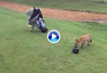Un persistente zorro intenta hacerse con la funda del driver de un jugador de golf, sin éxito  (VÍDEO)