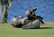 Un enorme caimán de más de 4 m., protagoniza una batalla en fraticida en un campo de golf de Florida