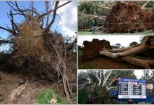Eolo hizo estragos el domingo en Torrey Pines arrancando un árbol de cuajo