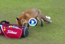 Este zorro a punto estuvo de robarle la cartera a un amateur en un campo de Irlanda (VÍDEO)