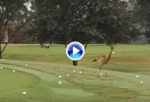 Esta ave descubrió por qué no es buena idea robar las bolas y hacerlas saltar en el asfalto (VÍDEO)