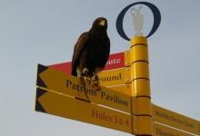 En Troon se pueden ver muchos birdies, algún eagle y varios halcones, pero… ninguna gaviota