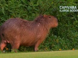 Lechuzas, micos, capibaras… Ni los animales se quieren perder el inicio en Rio (Incluye VÍDEO)
