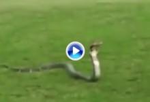 ¿Es eso una cobra real? Vaya sorpresa se encontraron estos amigos en el campo (VÍDEO)
