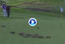 Un grupo de 20 mangostas se dio un garbeo por un green del Gary Player CC en plena ronda (VÍDEO)