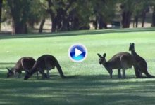 Ni los canguros quisieron perderse el World Super 6. ¡Hasta llegaron a interrumpir una ronda! (VÍDEO)