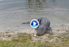 Un aligátor de un campo de Florida recibió un bolazo de un jugador ¡y se comió la pelota! (VÍDEO)
