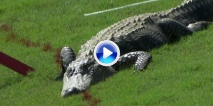 Esta semana el PGA Tour tendrá unos espectadores muy especiales, sus ya conocidos alligators (VÍDEO)
