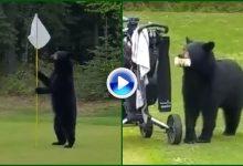 Un oso se pasea por el green de un campo de golf en Alaska y le birla la comida a un jugador (VÍDEO)