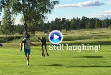 Susto morrocotudo: Un golfista es perseguido por un joven alce en un campo de golf sueco (VÍDEO)