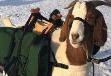 ¡La revolución de los cabbries! Un campo de Oregón utilizará cabras amaestradas para ejercer de caddie