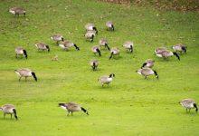 """Un campo británico pone precio a la cabeza de una plaga """"horrenda"""" de gansos del Canadá"""