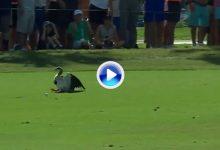 Tiger Woods alcanzó desde el tee con su madera 3 a un ganso que se paseaba por la calle (VÍDEO)