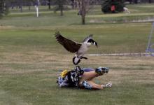 Un jugador recibe el ataque sorpresa de un ganso mientras disputa un torneo juvenil en Michigan