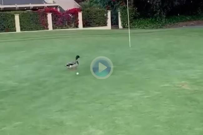 Reglas: La bola golpeó a un pato después de jugarla en el green ¿Que debemos de hacer en ese caso?