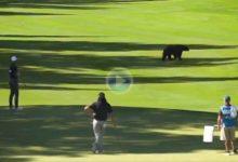 Los jugadores del Barracuda Champ (PGA) tuvieron que parar el juego para que un oso cruzara la calle