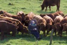 ¿Quién dijo que el Irish Open se jugaba sin público? Un granjero y sus vacas, espectadores en 1ª fila