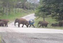Unos golfistas se vieron sorprendidos en el campo de golf por una manada de elefantes ¡más de 30!